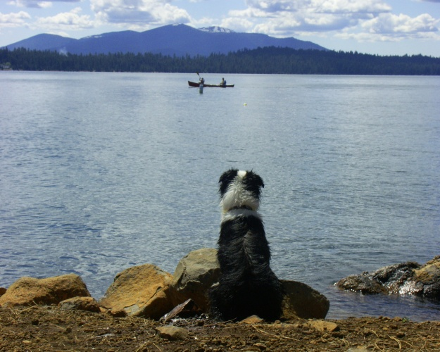 A forlorn herding dog watching part of his flock.