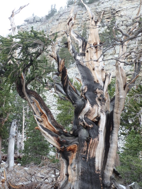 Bristlecone pine, about 3,000 years old. Hard to photograph, incredibly cool in person